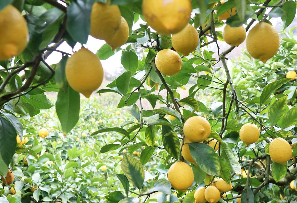 とびしま柑橘工房 レモンの木